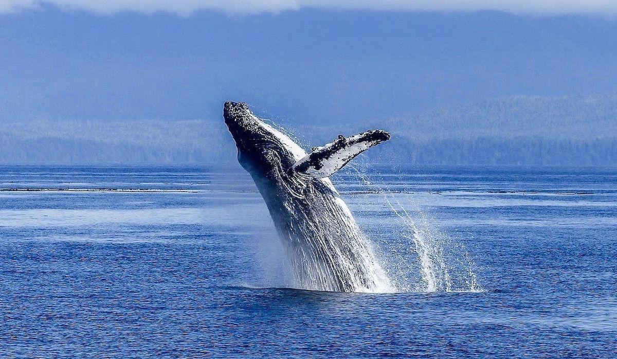 Baleine A Bosse Colombie