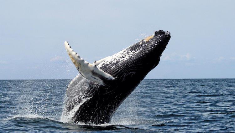 Baleine Colombie