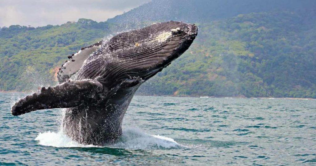 Gorgona Baleine