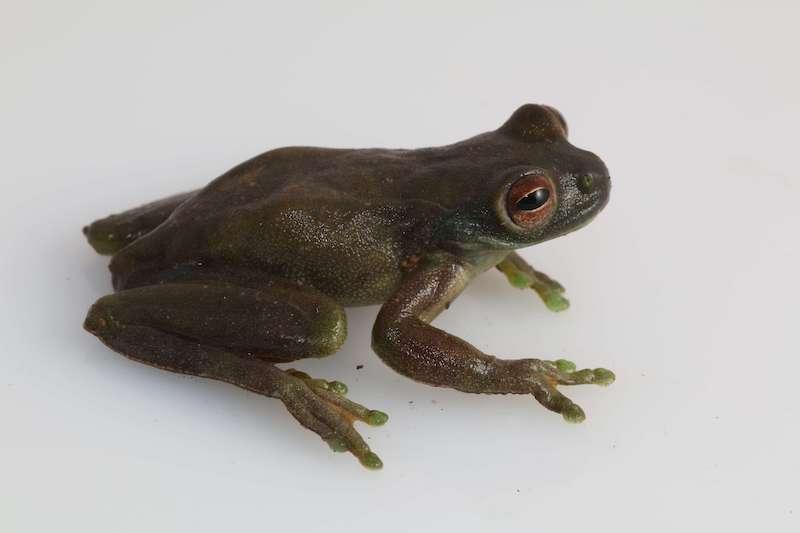 Grenouille Hyloscirtus Palmeri