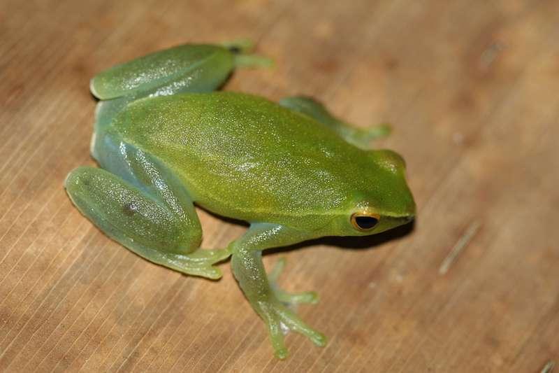 Grenouille Sphaenorynchus Lacteus