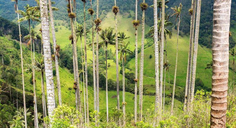 Palmier A Cire Quintio Colombie